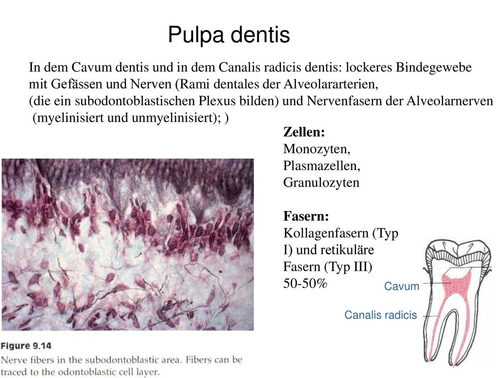 Pulpa dentis In dem Cavum dentis und in dem Canalis radicis dentis: lockeres Bindegewebe.
