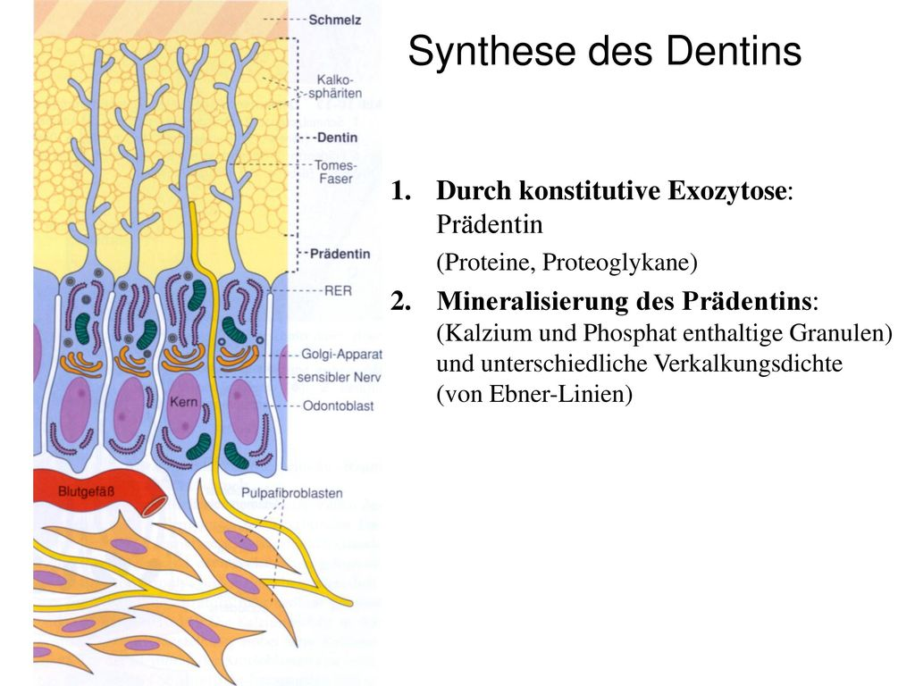 Synthese des Dentins Durch konstitutive Exozytose: Prädentin