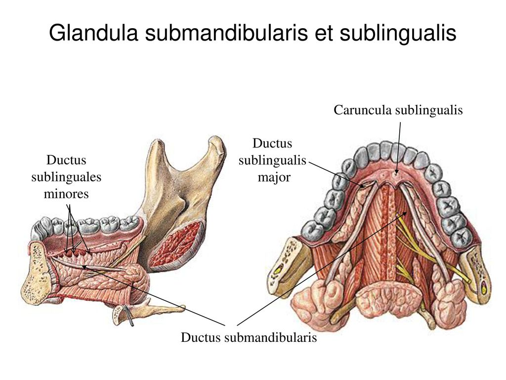 Glandula submandibularis et sublingualis