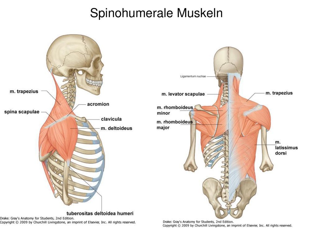 Spinohumerale Muskeln