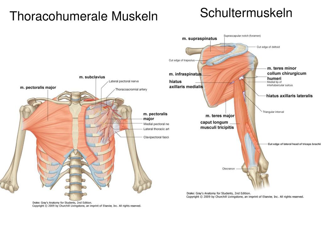 Schultermuskeln Thoracohumerale Muskeln