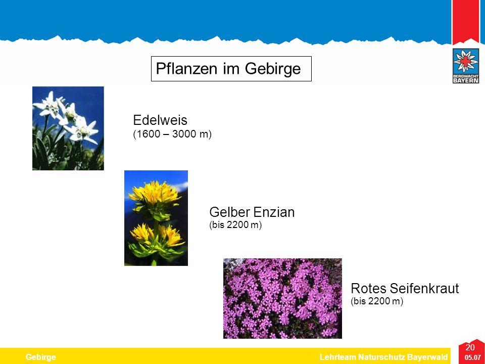 Pflanzen im Gebirge Edelweis Gelber Enzian Rotes Seifenkraut