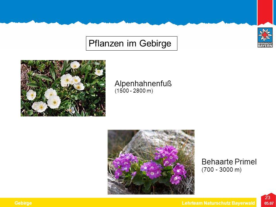 Pflanzen im Gebirge Alpenhahnenfuß Behaarte Primel (700 - 3000 m)