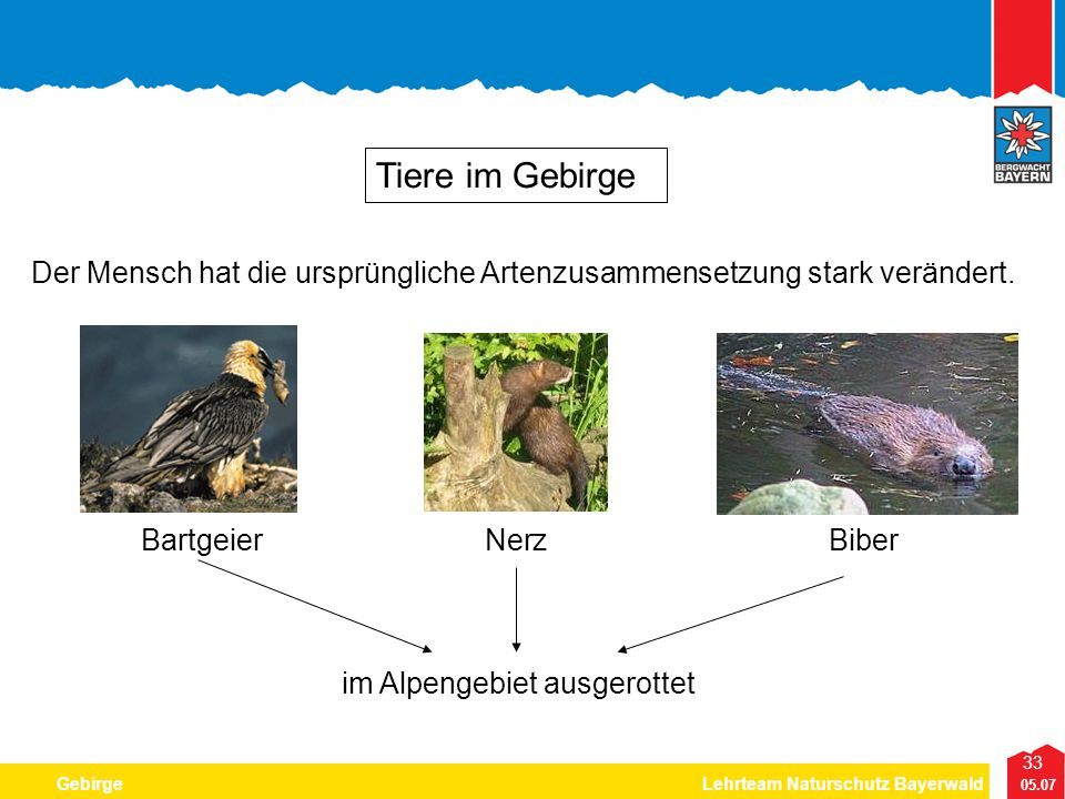 Tiere im Gebirge Der Mensch hat die ursprüngliche Artenzusammensetzung stark verändert. Bartgeier.