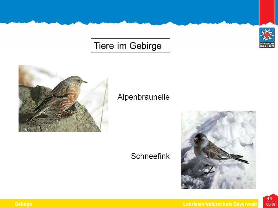 Tiere im Gebirge Alpenbraunelle Schneefink