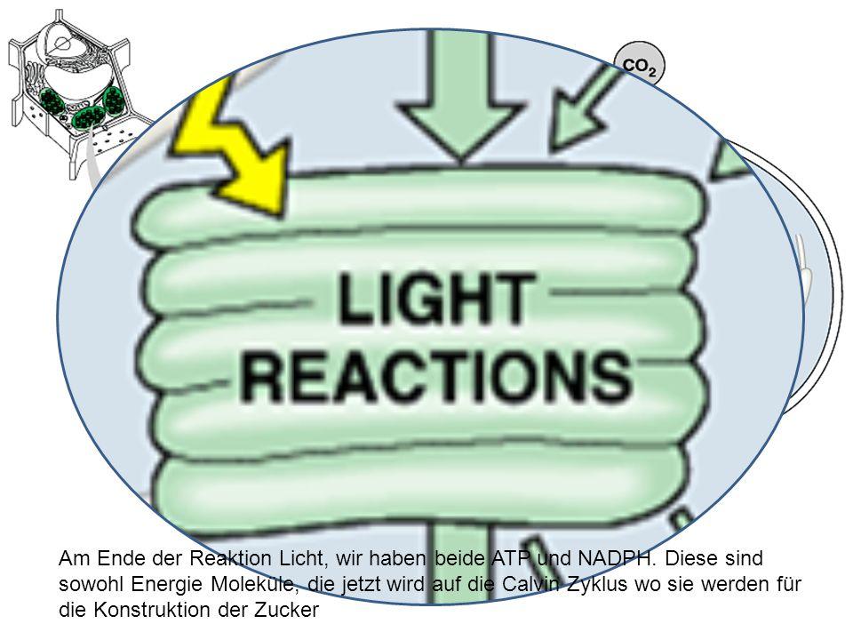 Am Ende der Reaktion Licht, wir haben beide ATP und NADPH
