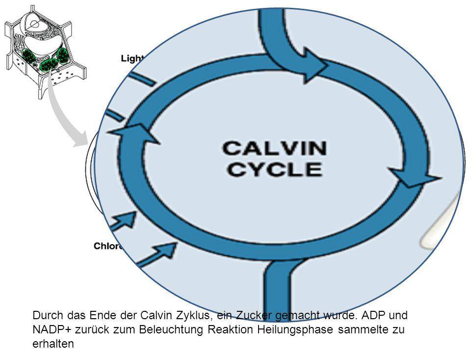 Durch das Ende der Calvin Zyklus, ein Zucker gemacht wurde