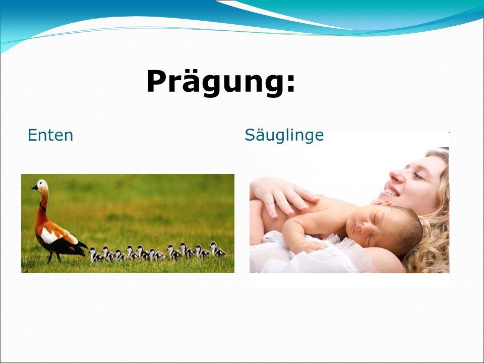 Prägung: Enten Säuglinge
