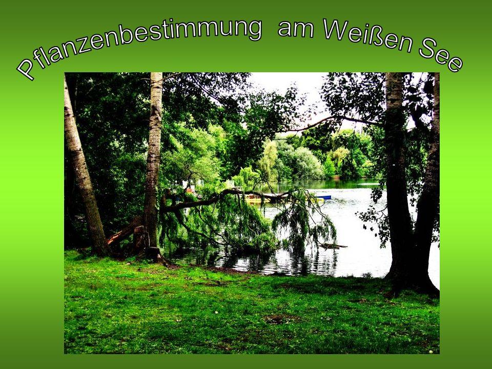 Pflanzenbestimmung am Weißen See