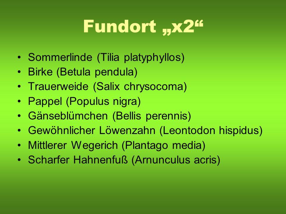 "Fundort ""x2 Sommerlinde (Tilia platyphyllos) Birke (Betula pendula)"