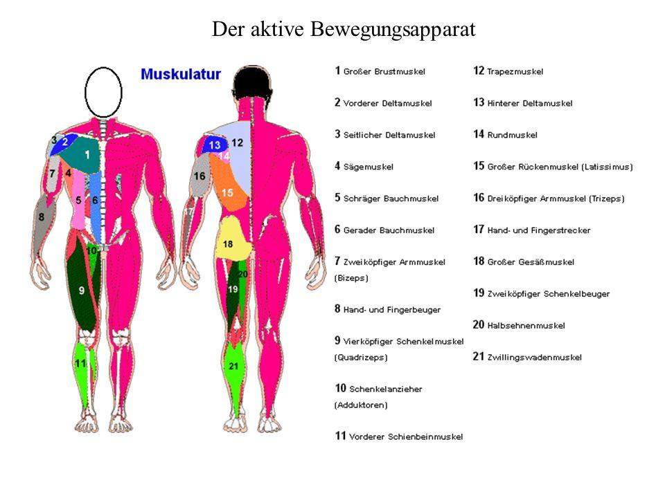 Der aktive Bewegungsapparat