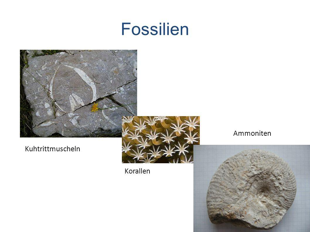 Fossilien Ammoniten Kuhtrittmuscheln Korallen