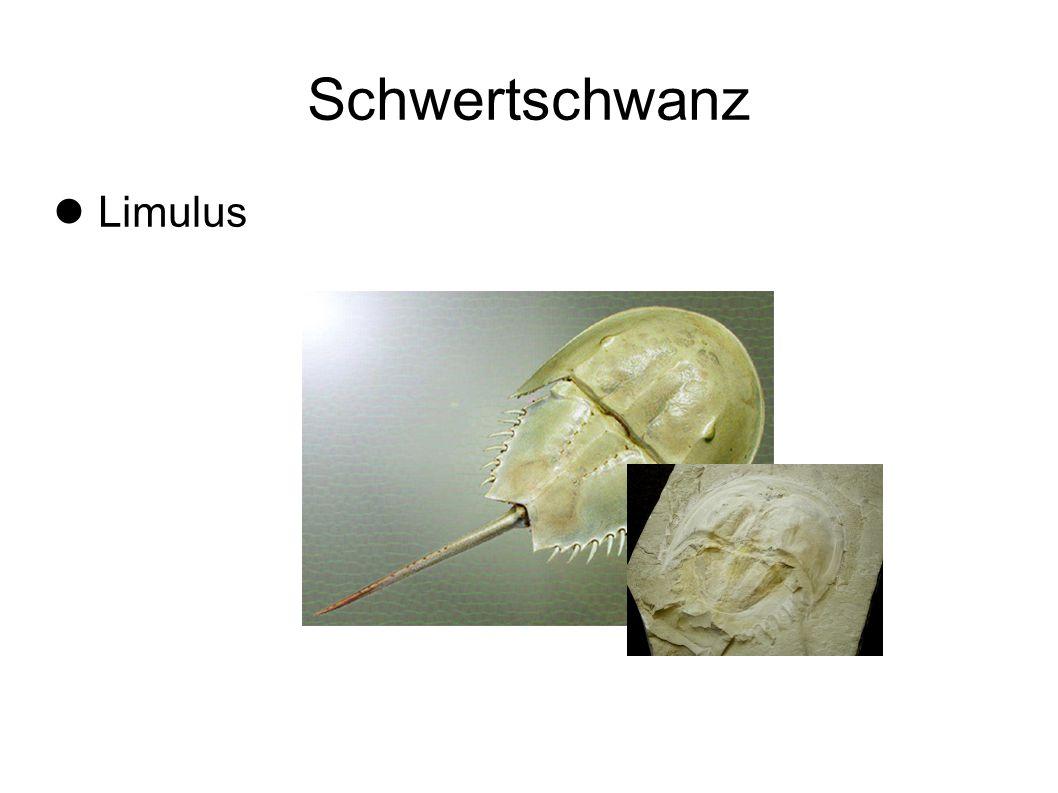 Schwertschwanz Limulus 13