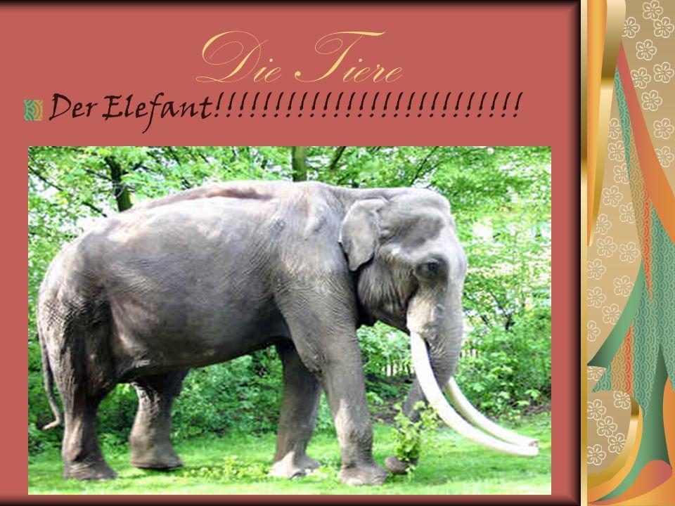 Die Tiere Der Elefant!!!!!!!!!!!!!!!!!!!!!!!!!!