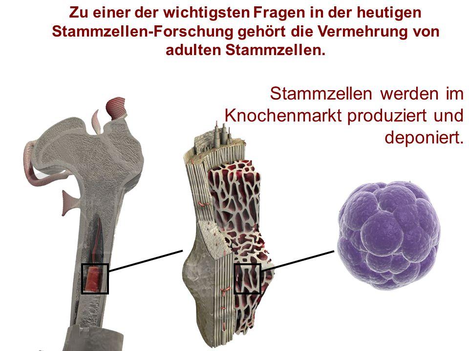 Stammzellen werden im Knochenmarkt produziert und deponiert.