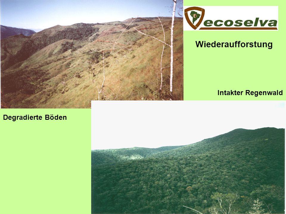 Wiederaufforstung Intakter Regenwald Degradierte Böden