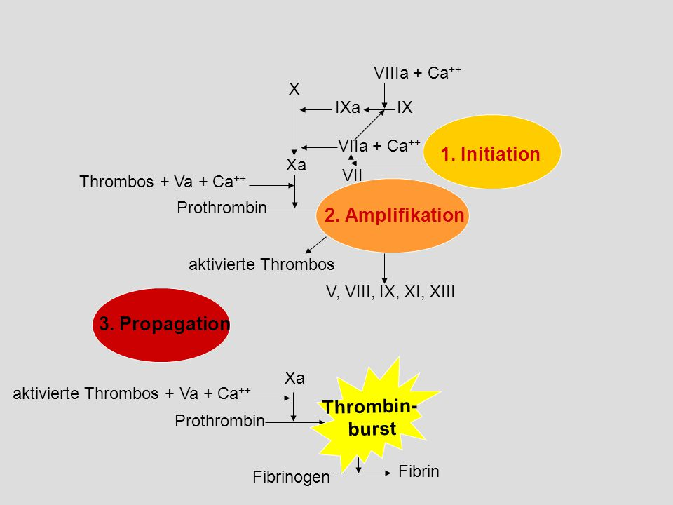 1. Initiation 2. Amplifikation 3. Propagation Thrombin- burst