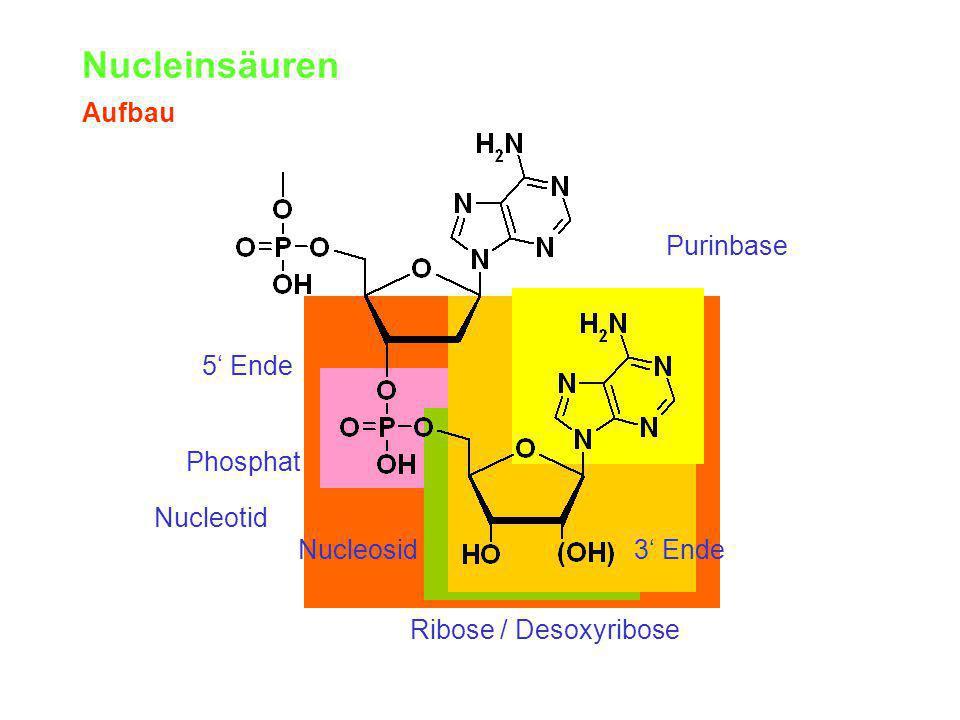 Nucleinsäuren Aufbau Purinbase 5' Ende Phosphat Nucleotid Nucleosid