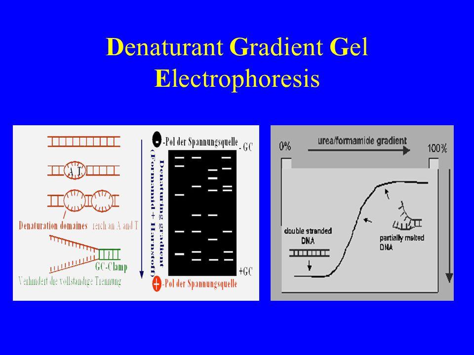 Denaturant Gradient Gel Electrophoresis
