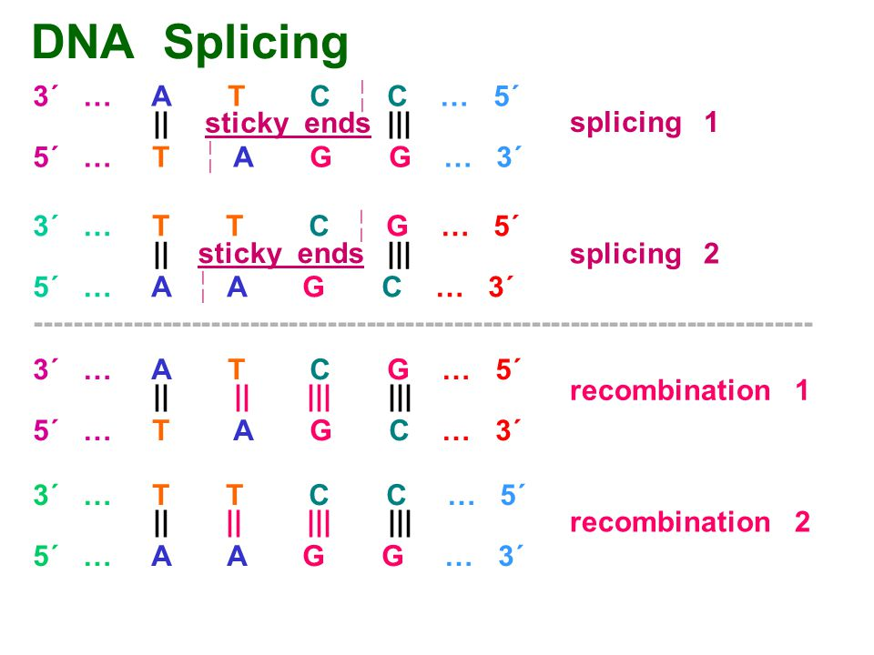DNA Splicing 3´ … A T C  C … 5´ || ||| sticky ends splicing 1