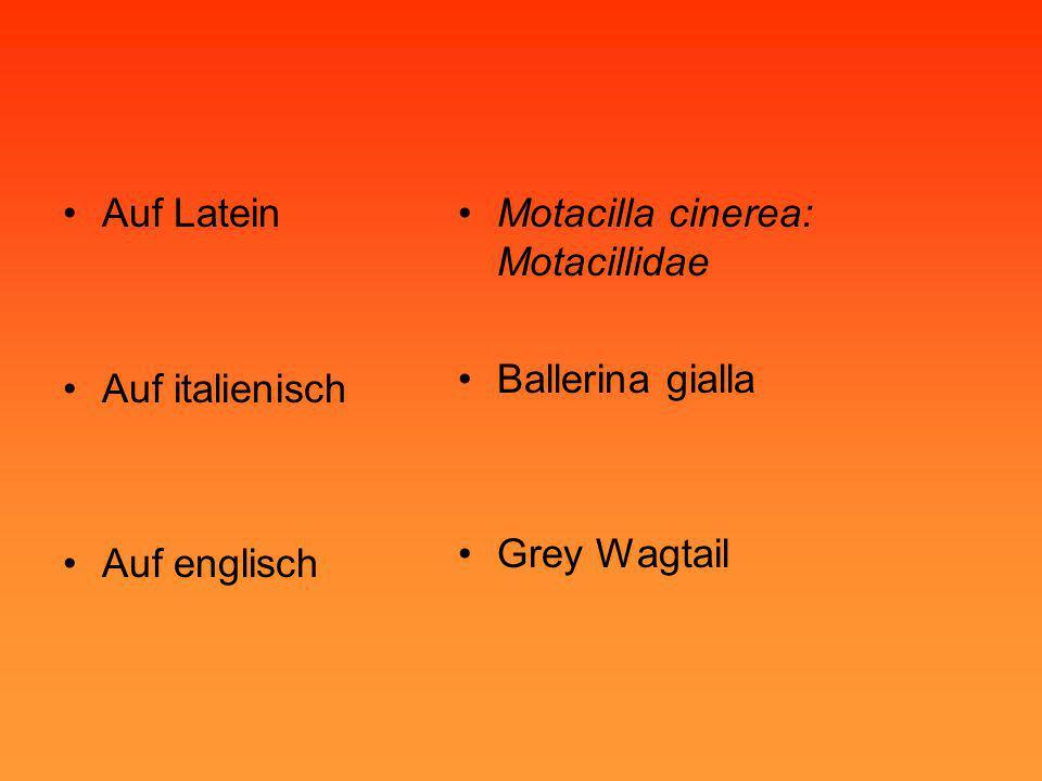 Auf Latein Auf italienisch. Auf englisch. Motacilla cinerea: Motacillidae.
