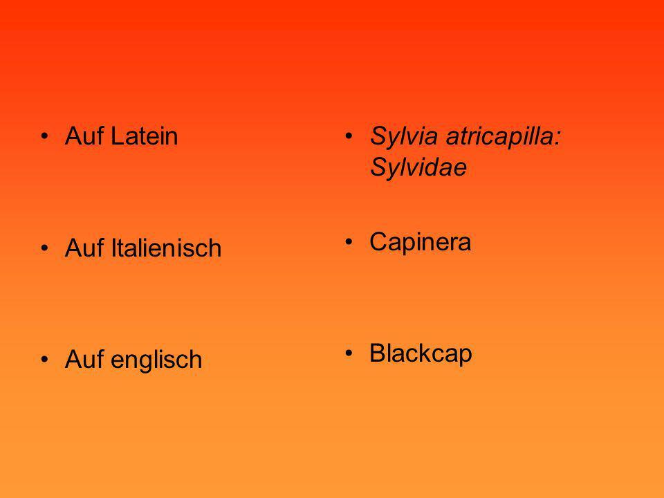 Auf Latein Auf Italienisch Auf englisch Sylvia atricapilla: Sylvidae Capinera Blackcap