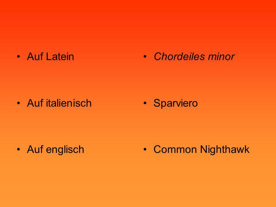 Auf Latein Auf italienisch Auf englisch Chordeiles minor Sparviero Common Nighthawk