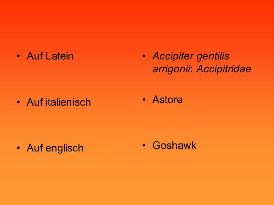 Auf Latein Auf italienisch Auf englisch Accipiter gentilis arrigonii: Accipitridae Astore Goshawk