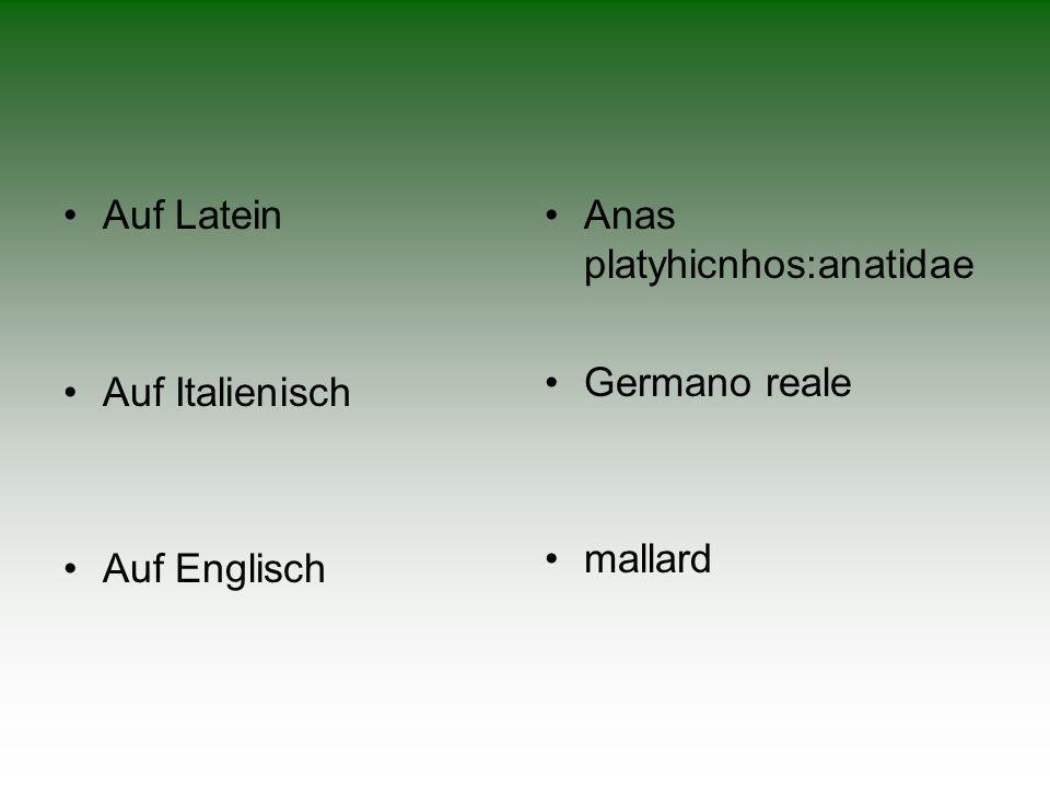 Auf Latein Auf Italienisch Auf Englisch Anas platyhicnhos:anatidae Germano reale mallard