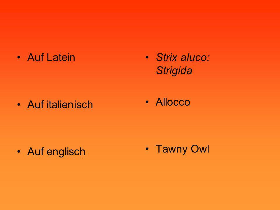 Auf Latein Auf italienisch Auf englisch Strix aluco: Strigida Allocco Tawny Owl