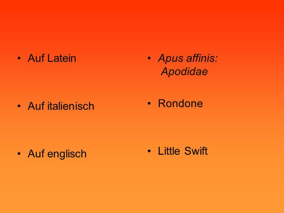 Auf Latein Auf italienisch Auf englisch Apus affinis: Apodidae Rondone Little Swift