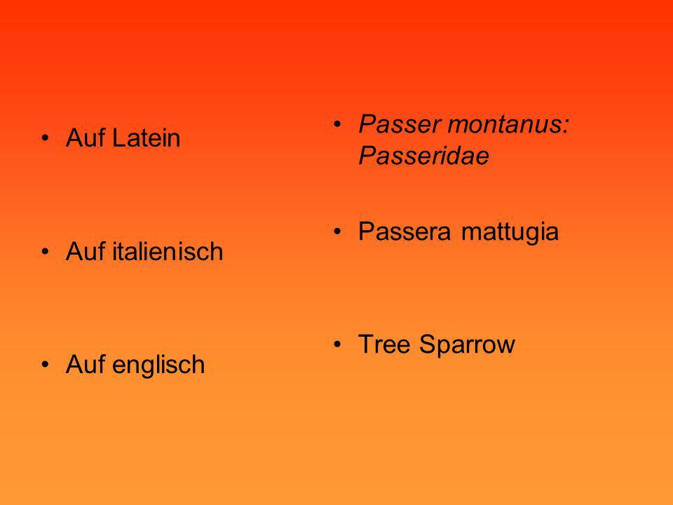Passer montanus: Passeridae