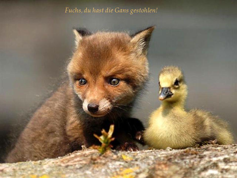 Fuchs, du hast die Gans gestohlen!