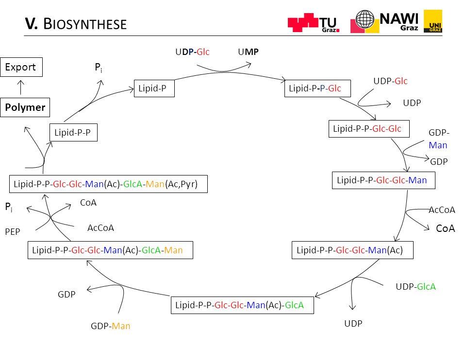 V. Biosynthese Export Pi Polymer Pi CoA UDP-Glc UMP UDP-Glc Lipid-P