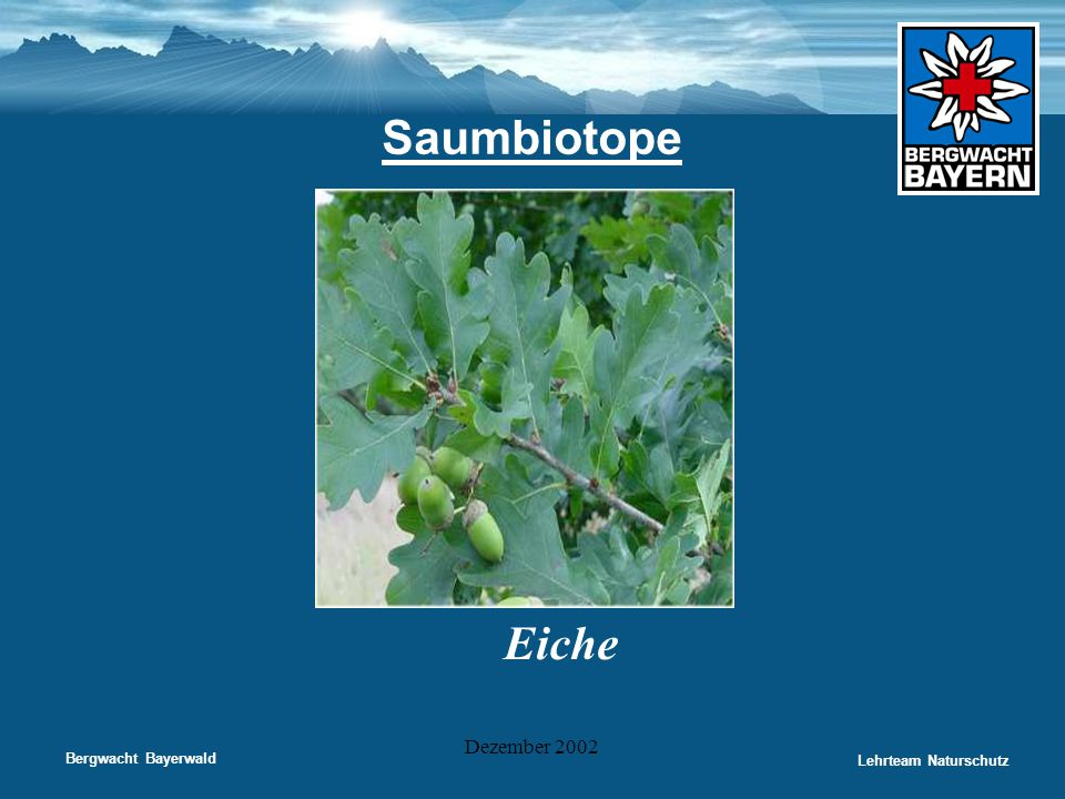 Saumbiotope Eiche Dezember 2002