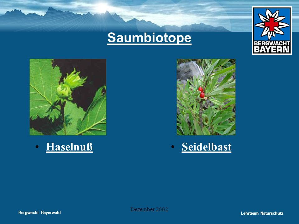 Saumbiotope Haselnuß Seidelbast Dezember 2002