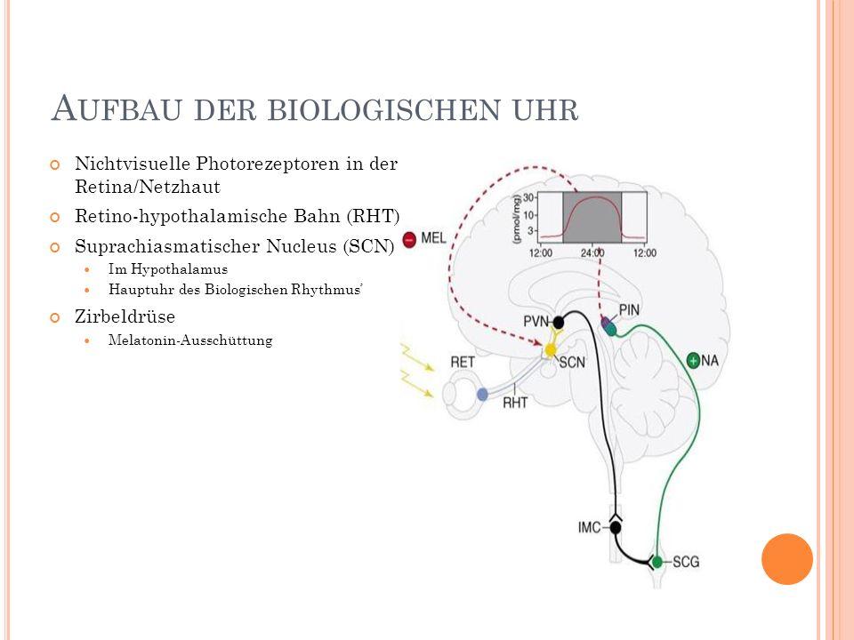 Aufbau der biologischen uhr