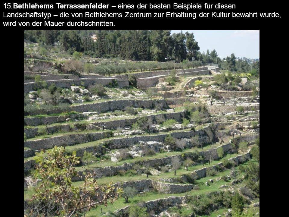 15.Bethlehems Terrassenfelder – eines der besten Beispiele für diesen Landschaftstyp – die von Bethlehems Zentrum zur Erhaltung der Kultur bewahrt wurde, wird von der Mauer durchschnitten.