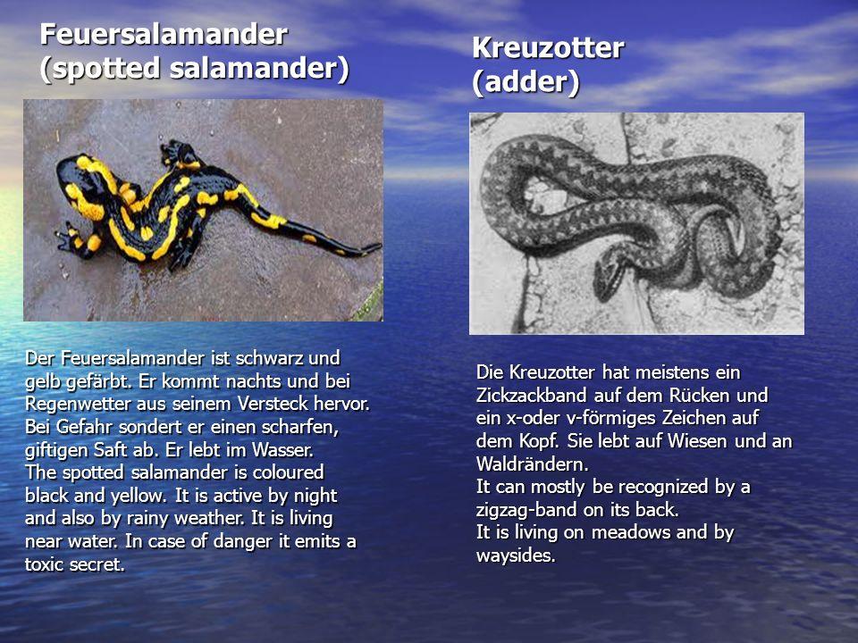 Feuersalamander (spotted salamander) Kreuzotter (adder)