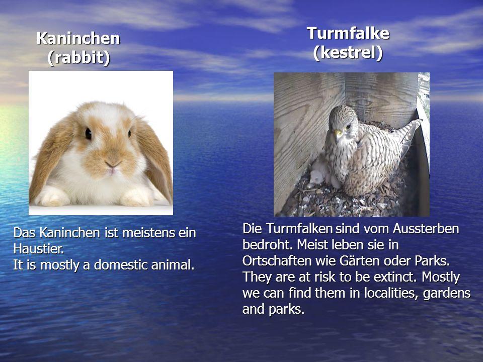 Turmfalke (kestrel) Kaninchen (rabbit)