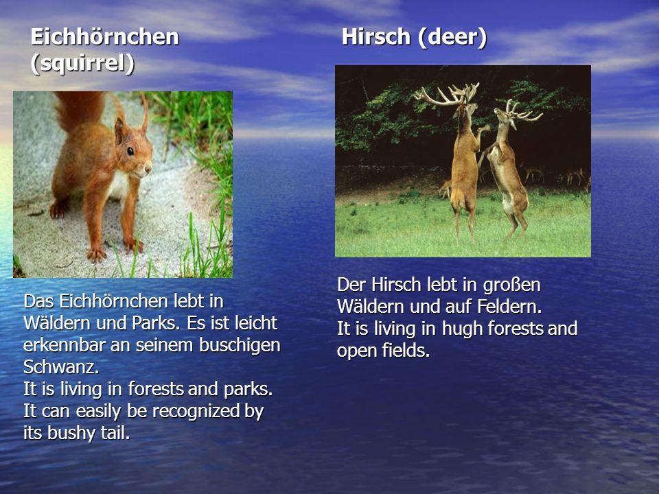 Eichhörnchen (squirrel) Hirsch (deer)