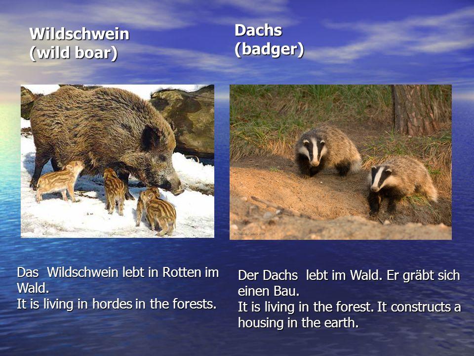 Dachs (badger) Wildschwein (wild boar)