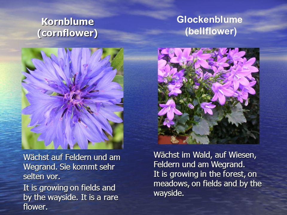 Kornblume (cornflower)