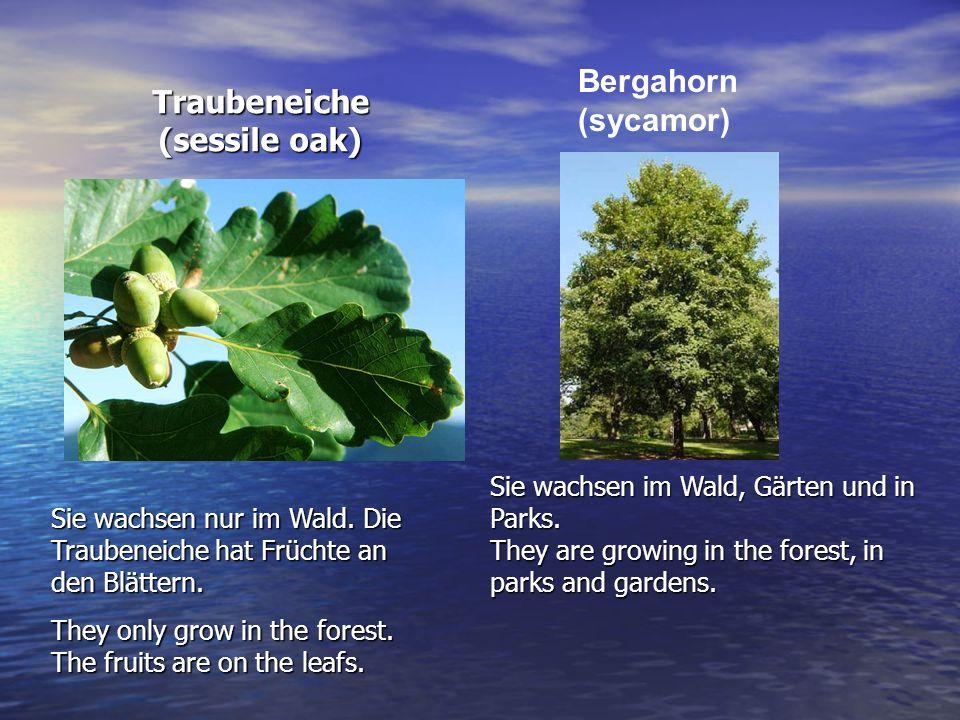 Traubeneiche (sessile oak)