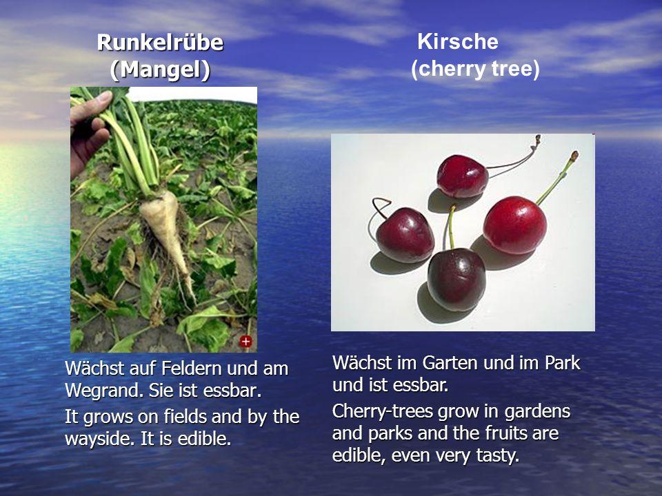 Runkelrübe (Mangel) Kirsche (cherry tree)
