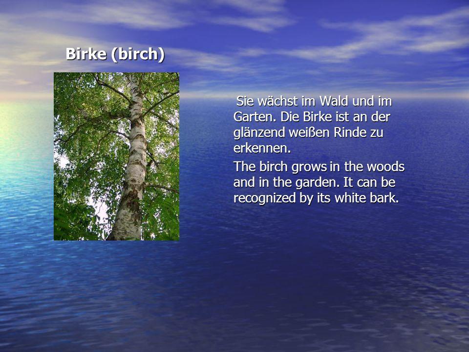 Birke (birch) Sie wächst im Wald und im Garten. Die Birke ist an der glänzend weißen Rinde zu erkennen.