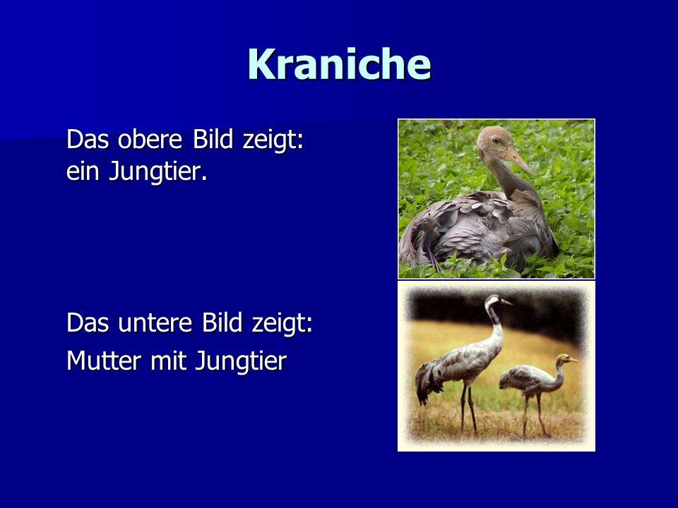 Kraniche Das obere Bild zeigt: ein Jungtier. Das untere Bild zeigt: