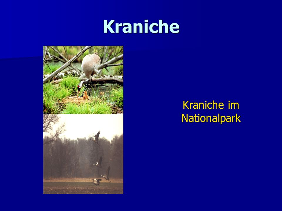 Kraniche im Nationalpark