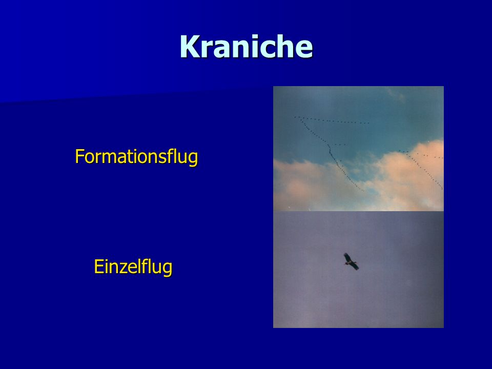 Kraniche Formationsflug Einzelflug
