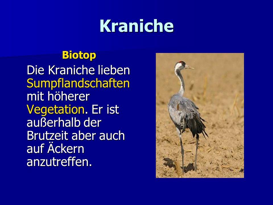 Kraniche Biotop. Die Kraniche lieben Sumpflandschaften mit höherer Vegetation.